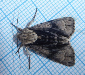 Alder Moth_Harehope quarry_10 June 19